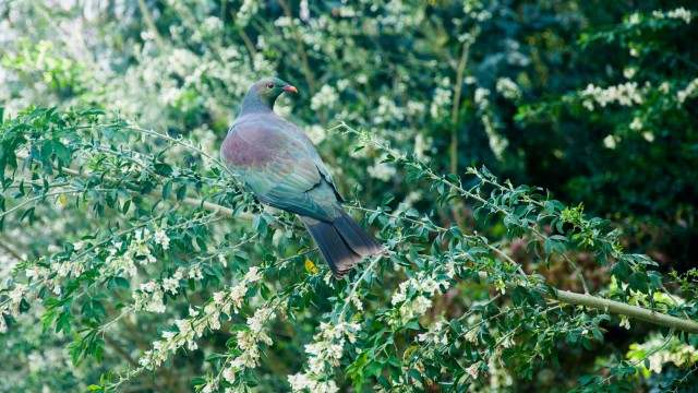 A kereru watching the turkeys