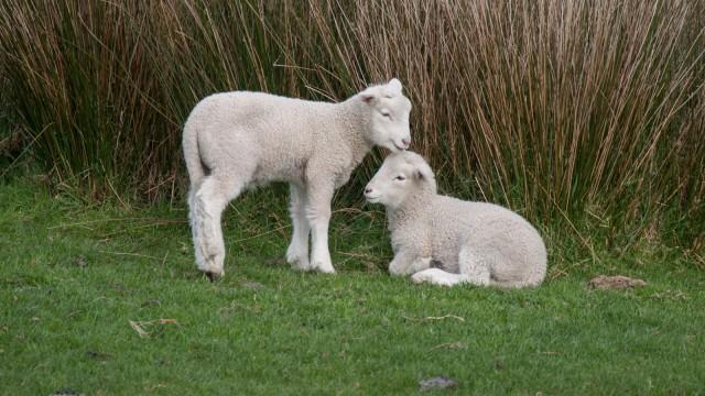 Baby sheep siblings