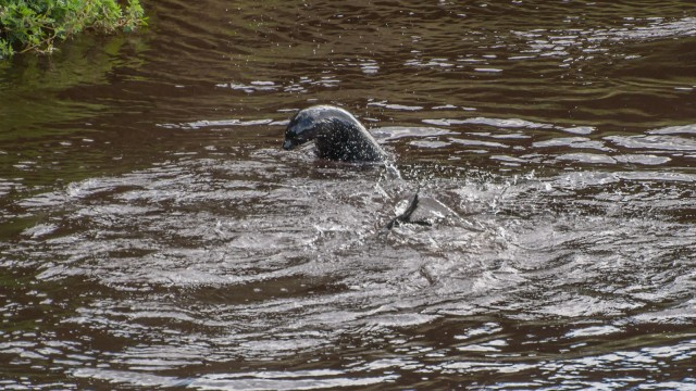 Fur seals playing in the river