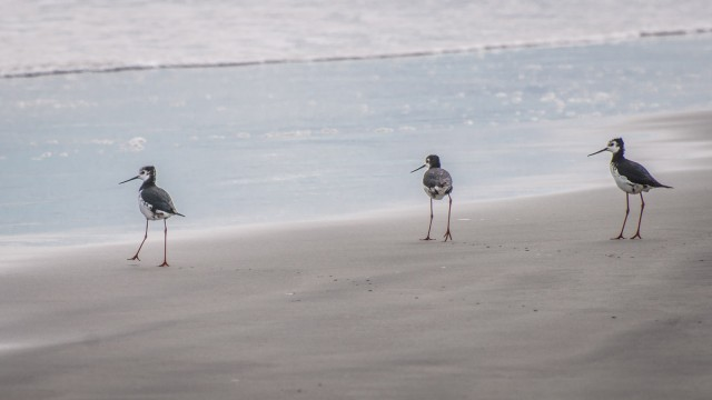 But I know these guys: White belly oyster catchers