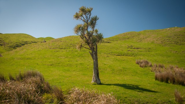 A perfect specimen of a cabbage tree