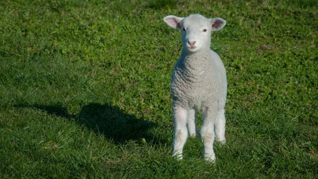 besides sheep again...
