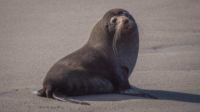 Curious fur seal