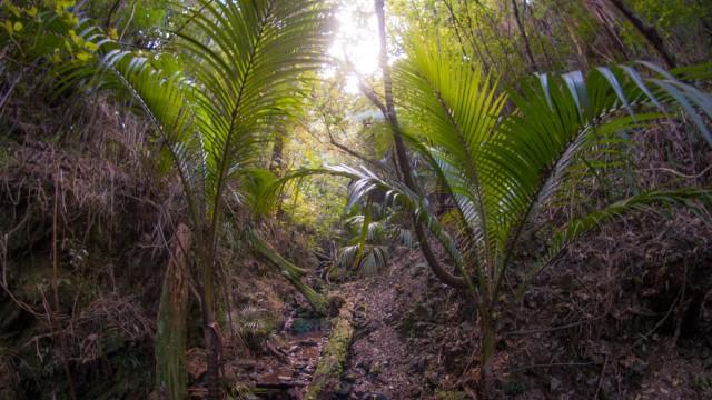 Nikau palms along the track