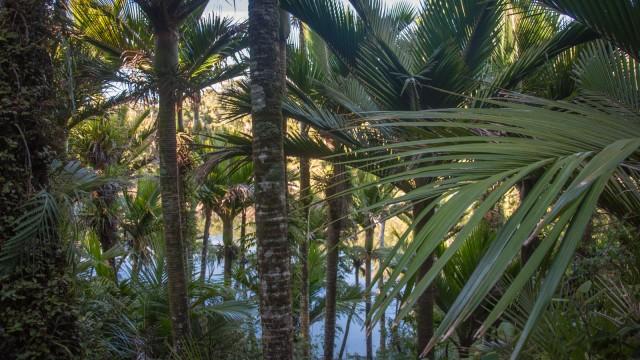 Nikau palm forest