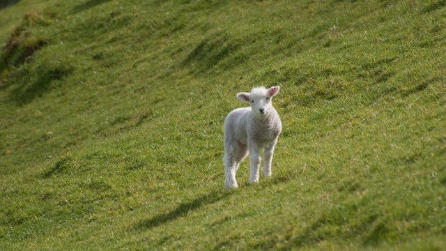 Curious baby sheep