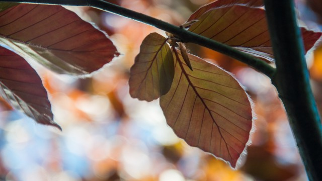 Red beech leaves, just a few days old