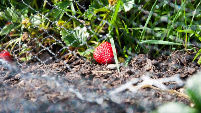 Our strawberry plants are doing well, we can already harvest 2-3 berries a day