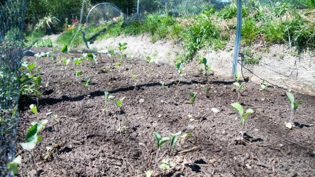 Freshly planted broccoli and cauliflower seedlings