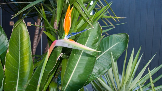 One of my favourite plants in NZ: Bird of paradise (Paradisaeidae)