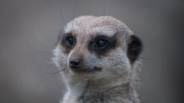 Curious Meerkat.