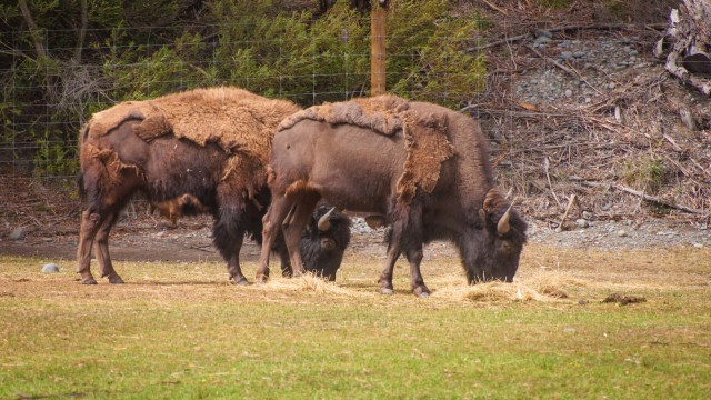Buffalos, very calm and well behaved.