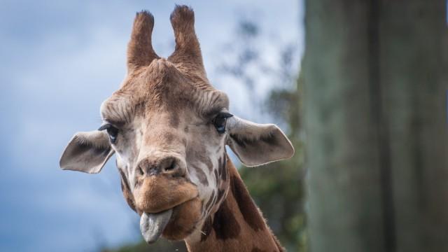 Giraffe shows us how it feels.