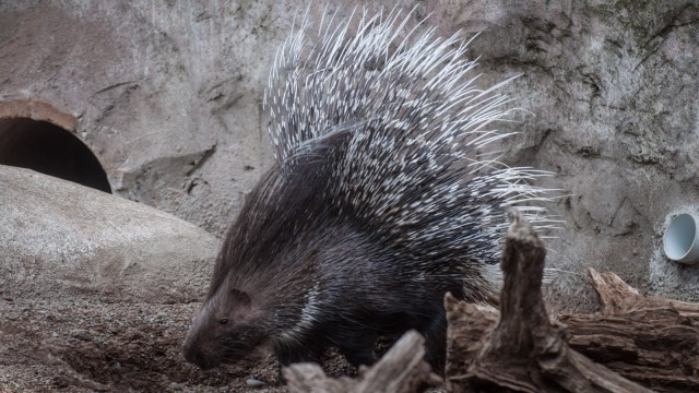 I love the word porcupine :)