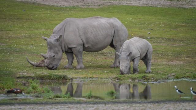Rhinos munching along the mud pool.