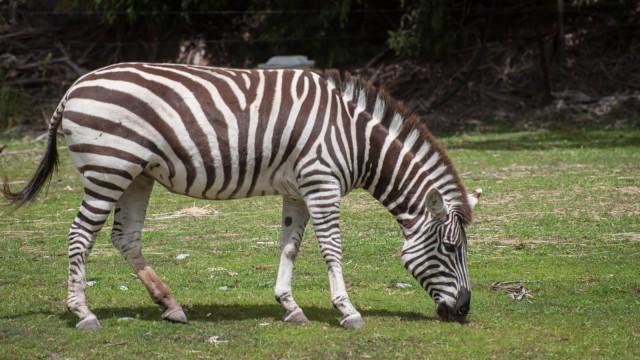 Zebra! The original Zebrastreifeninventor.