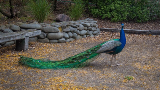 What a beautiful peacock.
