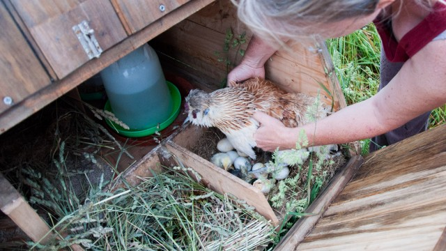 The hen didn't like being touched