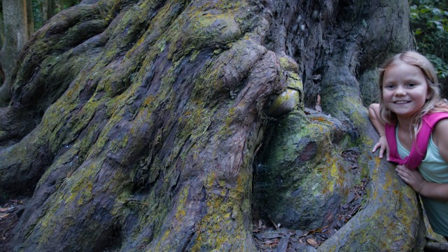 Big trees at the Otari-Wilton's Bush.