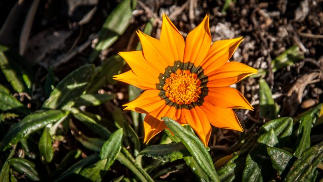 Coastal gazania with golden orange flowers.