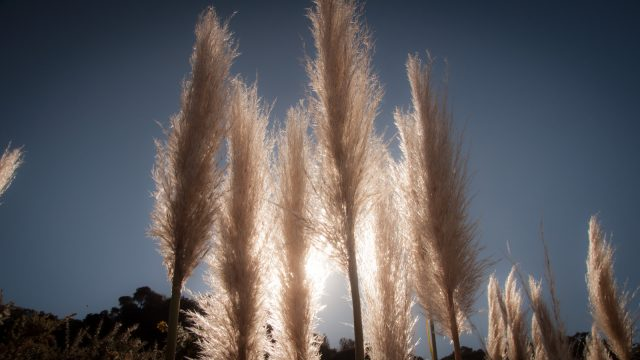 And the pampas grass is a weed :/