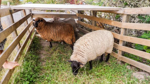 The sheep before they got shorn
