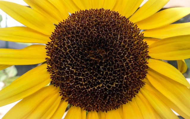 One of our beautiful sunflower heads