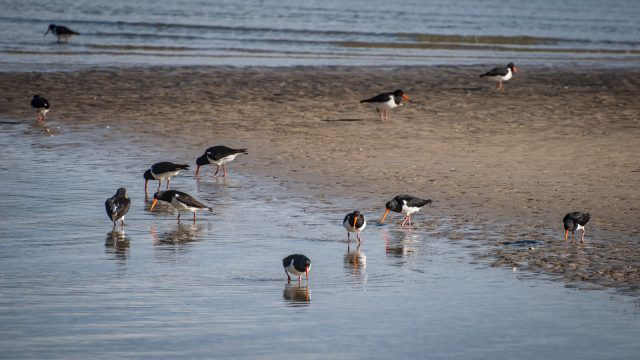 A group of South Island Oystercatchers looking for food