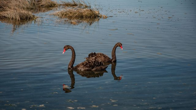 With black swans (and many other birds along the path)