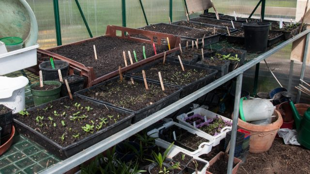 In the glasshouse the nursing is full on, already the third charge of little seedlings that will go out soon