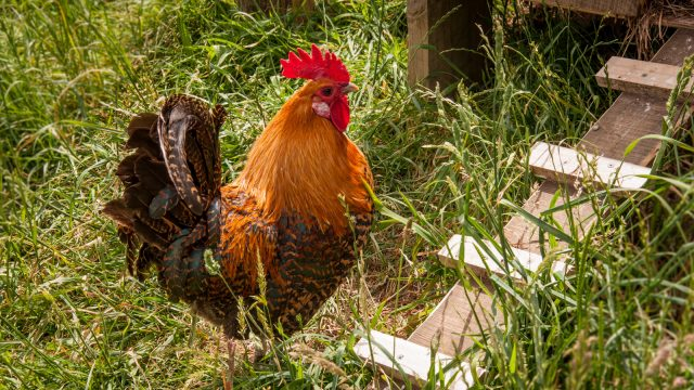 Prince, the father to all of them except Jelly (because that one's a purebred Leghorn).